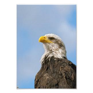 Águia americana fotografia