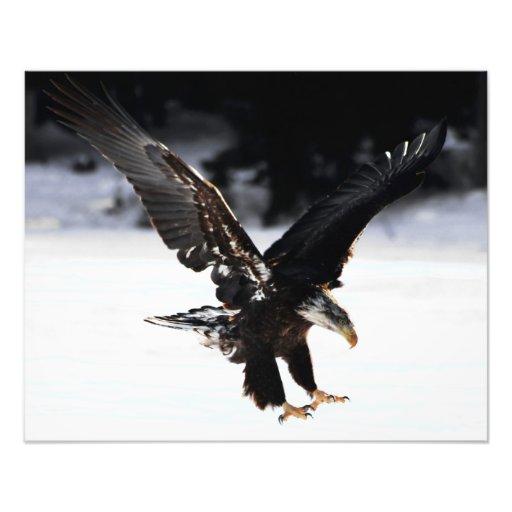 Águia americana fotos