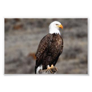 Águia americana foto arte