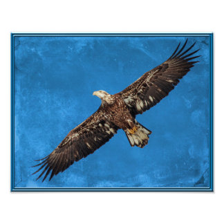 Águia americana de Subadult em vôo Impressão De Foto