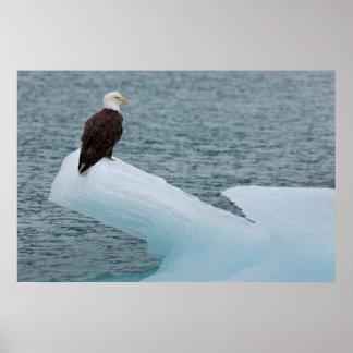 Águia americana do parque nacional de baía de poster