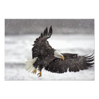 Águia americana dos EUA, Alaska, Alaska Chilkat Fotografia