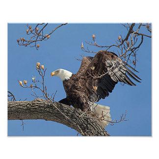 Águia americana em um ramo de árvore impressão de foto