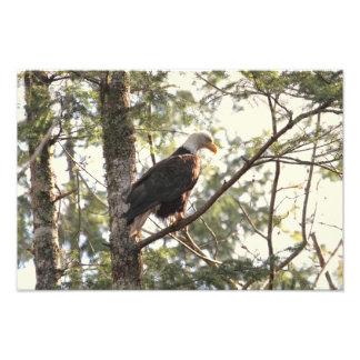 Águia americana em uma árvore fotografias