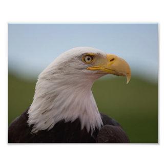 Águia americana impressão de foto