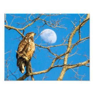 Águia americana juvenil e a lua fotografia