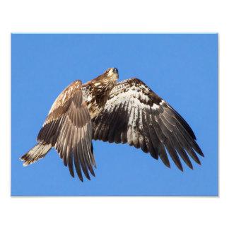 Águia americana juvenil em vôo impressão de foto