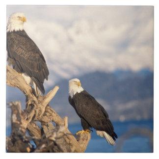 águia americana, leuccocephalus do Haliaeetus, par