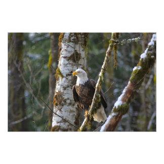 Águia americana nas madeiras impressão de foto