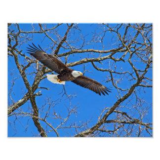 Águia americana no azul impressão de foto