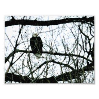 Águia americana no ramo foto arte