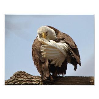 Águia americana (o pássaro que dá o pássaro) impressão de foto
