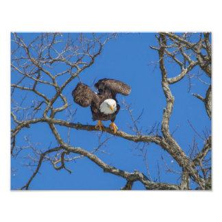 Águia americana Poised para a decolagem Foto Artes