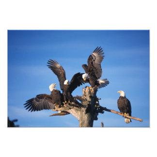 águias americanas, leuccocephalus do Haliaeetus, Impressão Fotográfica
