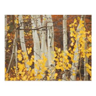 Álamos tremedores no outono cartão postal