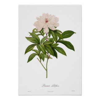 Albiflora de Peonia Posteres