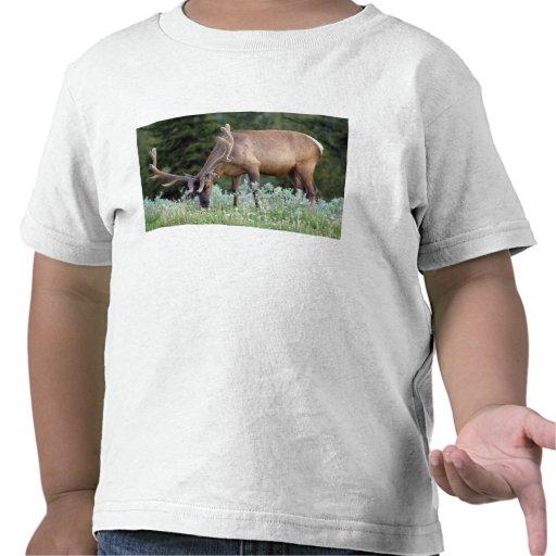Alces de Bull com os antlers no veludo que pastam  Tshirt