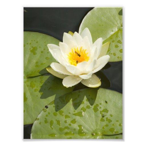 Almofadas de lírio e flor de Lotus branco Impressão Fotográficas