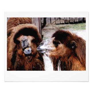 Altercação marital entre o impressão dos camelos impressão de foto
