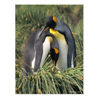 Amantes dos pinguins de rei cartão postal
