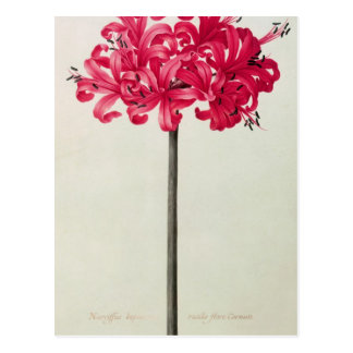 Amaryllis Sarniensis, ou narciso Cartão Postal