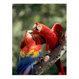 Amazon, Brasil. Pares de escarlate dos Macaws (Ara Cartão Postal