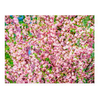 Ameixa de florescência cartão postal