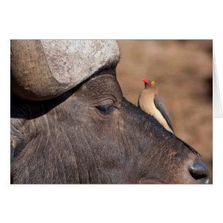 Amigos: Cartão do Pecker do búfalo e do boi do