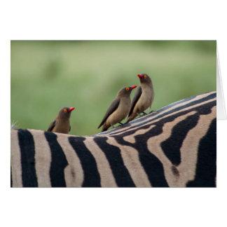 Amigos: Cartão dos Peckers da zebra e do boi