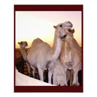 Amor do camelo impressão de foto