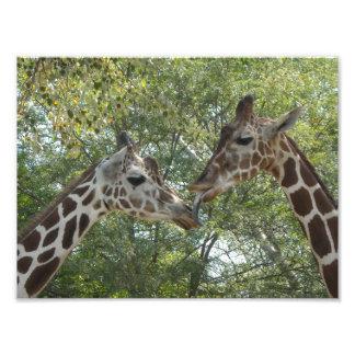 Amor do girafa fotografias