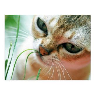 Amor Gras dos gatos de Singapura Cartao Postal