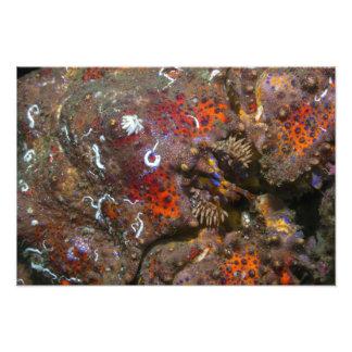 Ampliação da foto do rei caranguejo de Puget Sound