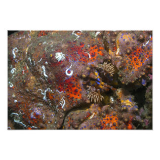 Ampliação da foto do rei caranguejo de Puget Sound Impressão De Foto