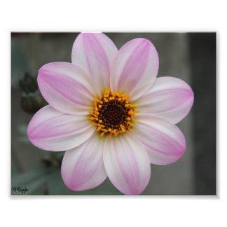 Ampliação da foto - flor roxa cor-de-rosa branca