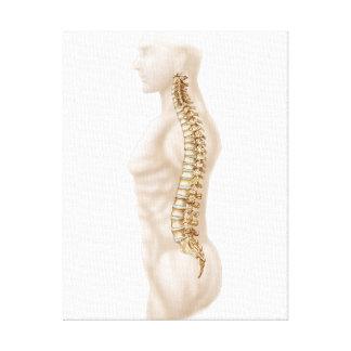 Anatomia da coluna vertebral humana, deixada a impressão de canvas envolvida