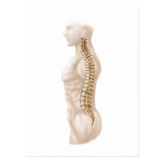 Anatomia da coluna vertebral humana, deixada a cartões postais
