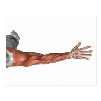 Anatomia do braço humano, opinião do músculo do cartoes postais
