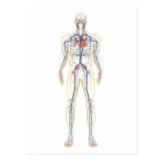 Anatomia do corpo humano e do sistema circulatório cartao postal