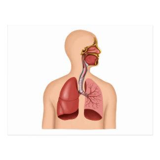 Anatomia do sistema respiratório humano cartao postal