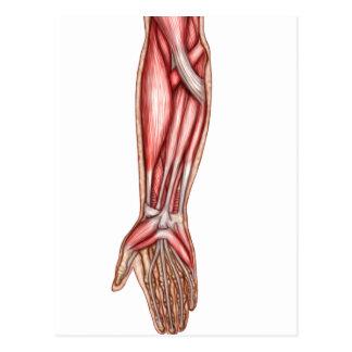 Anatomia dos músculos humanos 2 do antebraço cartoes postais