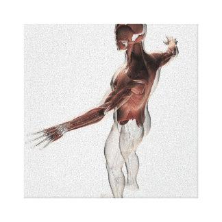Anatomia dos músculos masculinos na parte superior impressão de canvas esticadas