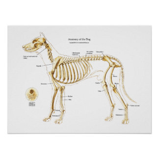 Anatomia esqueletal do poster do cão