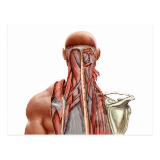 Anatomia humana que mostra os músculos profundos cartoes postais