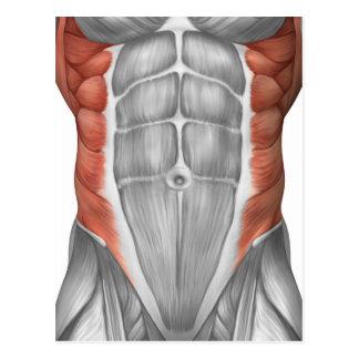 Anatomia masculina do músculo da parede abdominal cartoes postais