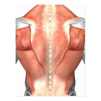 Anatomia masculina do músculo da parte traseira 1 cartões postais
