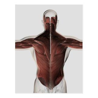 Anatomia masculina do músculo da parte traseira 2 cartões postais