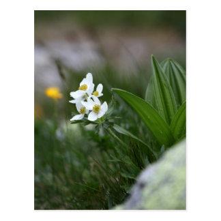 anêmona Narciso-florescida (narcissiflora da Cartão Postal
