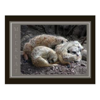 Animais selvagens de Meerkat Cartão Postal