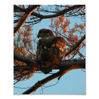 Animal de um ano da águia americana impressão de foto